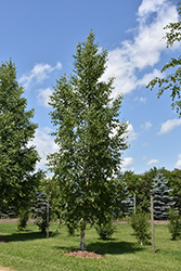 Prairie Dream Paper Birch (Betula papyrifera 'Varen') at Ron Paul Garden Centre