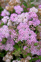 Little Princess Spirea (Spiraea japonica 'Little Princess') at Ron Paul Garden Centre
