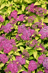 Double Play® Gold Spirea (Spiraea japonica 'Yan') at Ron Paul Garden Centre