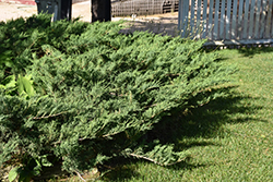 Blue Danube Juniper (Juniperus sabina 'Blue Danube') at Ron Paul Garden Centre
