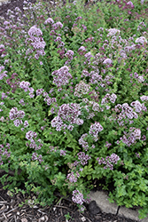 Oregano (Origanum vulgare) at Ron Paul Garden Centre
