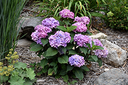 Bloomstruck® Hydrangea (Hydrangea macrophylla 'PIIHM-II') at Ron Paul Garden Centre
