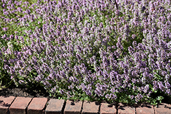 Common Thyme (Thymus vulgaris) at Ron Paul Garden Centre