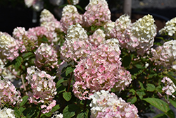 Strawberry Sundae® Hydrangea (Hydrangea paniculata 'Rensun') at Ron Paul Garden Centre