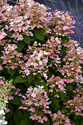 Quick Fire® Hydrangea (Hydrangea paniculata 'Bulk') at Ron Paul Garden Centre