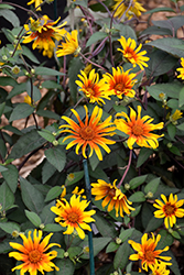 Burning Hearts False Sunflower (Heliopsis helianthoides 'Burning Hearts') at Ron Paul Garden Centre