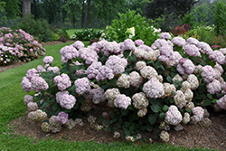 Incrediball® Blush Smooth Hydrangea (Hydrangea arborescens 'NCHA4') at Ron Paul Garden Centre