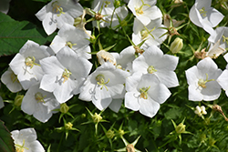 White Clips Bellflower (Campanula carpatica 'White Clips') at Ron Paul Garden Centre