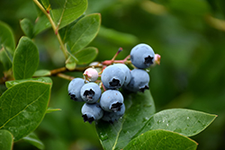 Northcountry Blueberry (Vaccinium 'Northcountry') at Ron Paul Garden Centre