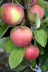 Dexter Jackson Dwarf Apple (Malus 'Dexter Jackson') at Ron Paul Garden Centre