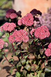 Desert Red Stonecrop (Sedum 'Desert Red') at Ron Paul Garden Centre