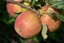 Odyssey Apple (Malus 'Jefsey') at Ron Paul Garden Centre